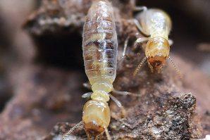 十大白蟻高危區  新發展住宅區最嚴重