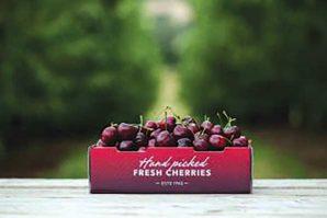豐收季節 往Cherryhill親自摘櫻桃